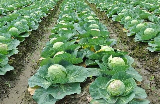 甘蓝的种植方法与时间 甘蓝常见病症的防治